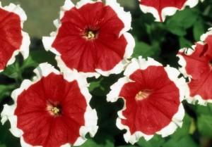 Petunia 'Red Picotee'